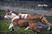 Выстовачные щенки Американского Стаффордширского Терьера