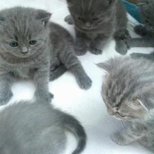 Продаются котята  британские ,  плюшевые